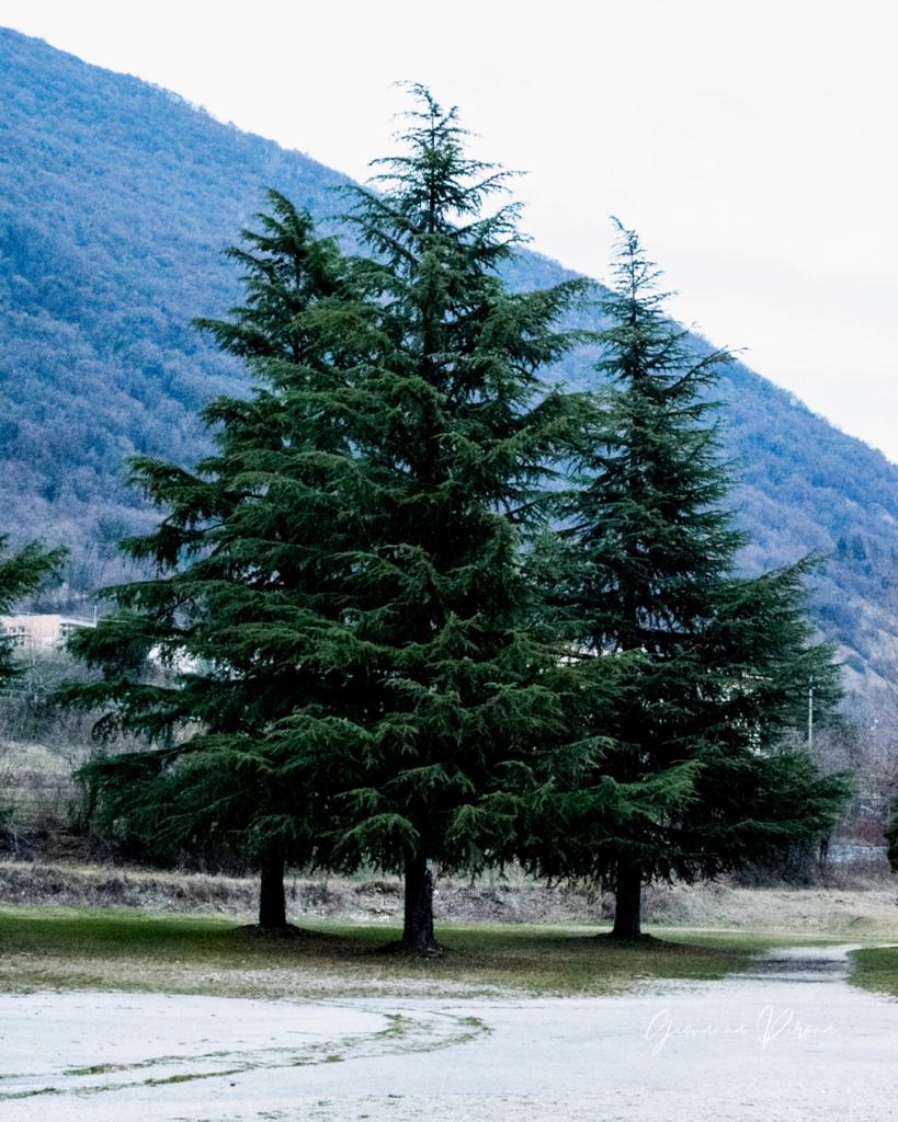 Cedri del Libano ai Laghi di Revine